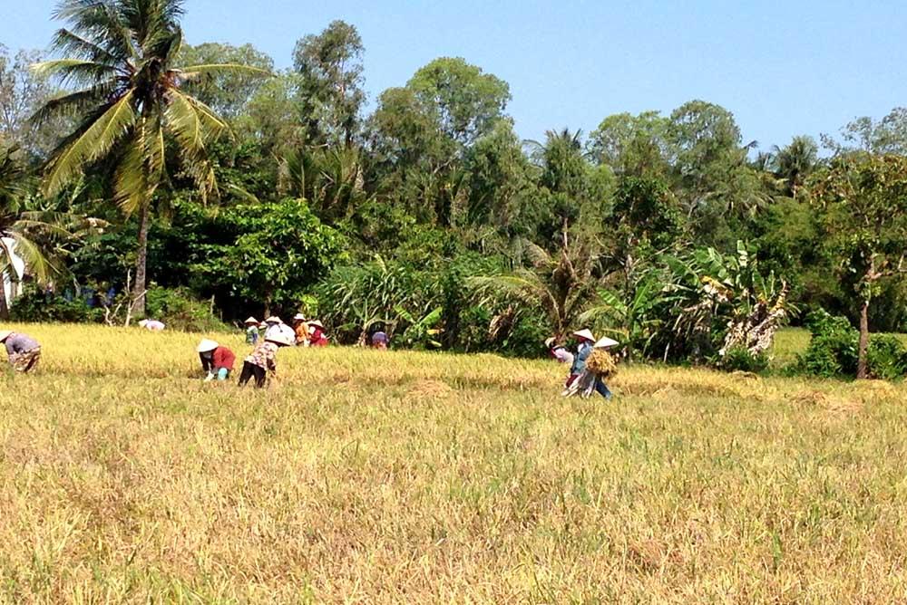Mekong Harvest Season