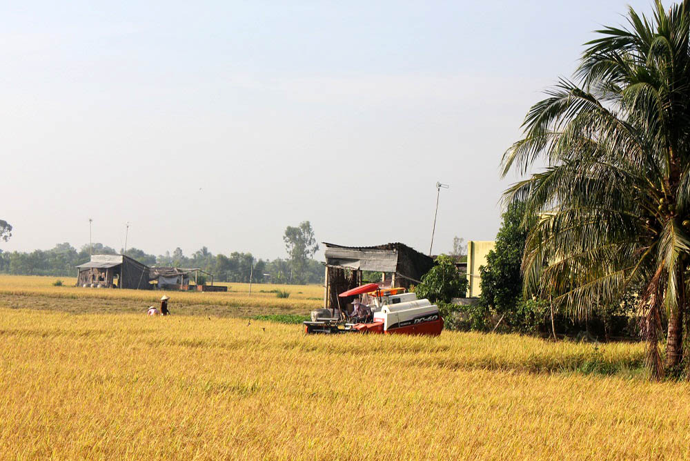 Rice Collecting by Combined harvester